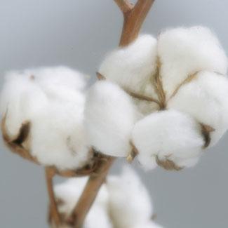 photo d'une fleur de coton bio