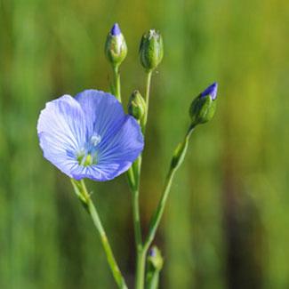 la fleur de lin
